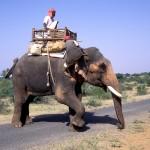 elephant rider   india