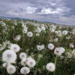 dandelion field floriana barbu